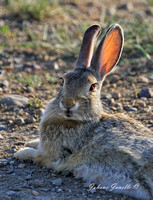 Nuttal's Cottontail