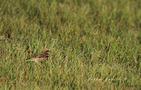 Male Chestnut- Collared Longspur