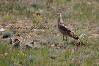 Long Billed Curlew 2 SARA Special Concern