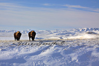 Bison in winter COSEWIC Special Concern