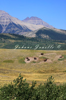 Bison in Waterton COSEWIC Special Concern