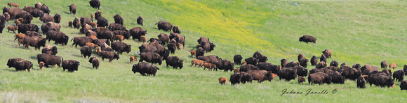 Bison in Grasslands National Park