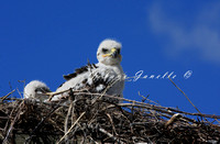 Ferruginous Hawk  - SARA Threatened