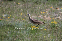 Long Billed Curlew 4 SARA Special Concern