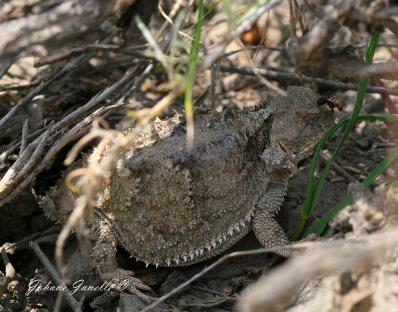 Greater Short-horned Lizard 11